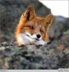 cute fox ***photo by A. Kutskiy