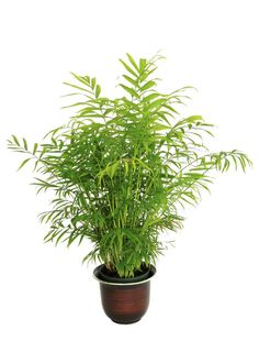 Combating indoor air pollution: 5 plants to make your home clean and green bamboo Indoor Palms, Best Indoor Plants, Indoor Plant Pots, Palm Plants, Small Palm Trees, Small Palms, Hydrangea Potted, Bamboo Palm, Low Light Plants
