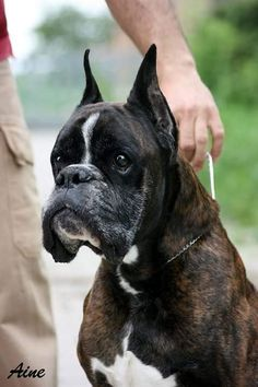 Boxer Dogs, Boxers, Dog Hoodie, Dog Coats, Dog Harness, Pet Clothes, Best Dogs, Pet Supplies, Boston Terrier