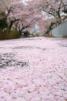 Japanese Cherry Blossoms Symbolism: Extreme beauty, quick death. A beautiful…