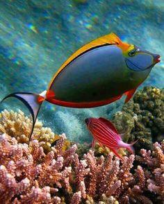 Orange unicorn fish - Indian/Pacific oceans, coral reefs