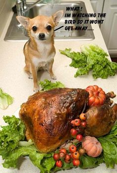 What! I'm watching the bird so it won't get away... Thanksgiving Chihuahua