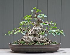 "Bonsai trees are the pinnacle of miniature plants, and can vary on the ""awesome"" spectrum from ""cute"" to ""epic."" The cute bonsai trees have flowers and are ti Bonsai Ficus, Bonsai Plants, Bonsai Garden, Indoor Bonsai, Bonsai Tree Care, Bonsai Tree Types, Ficus Microcarpa, Bonsai Styles, Mini Bonsai"