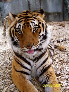 A beautiful tiger with its tongue sticking out :-P