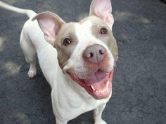 BAM-BAM - ID#A1001711  I am an unaltered female, white and brown Pit Bull Terrier mix.  The shelter staff think I am about 3 years old. I weigh 45 pounds.