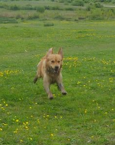 Here is my lovely granddog, Rafa, rushing across the fields. He is always full of energy! #PetPinUp #PetRunway