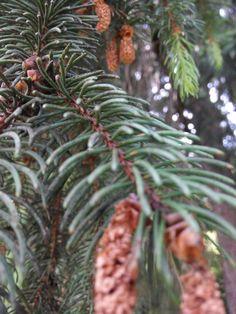 Pine.Cone.