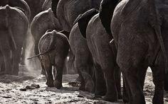 Global Gallery 'Walking Home' by Ben Mcrae Framed Photographic Print Size: 2 Embossed Wallpaper, Wallpaper Roll, Chobe National Park, National Parks, Geometric Wallpaper Murals, Herd Of Elephants, Elephant Parade, Elephant Art, Baby Elephant