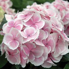 Hydrangea macrophylla Wedding Ring – Hortensia magnifique rose et blanc Hydrangea Macrophylla, Hortensia Hydrangea, Hydrangea Garden, Hydrangea Flower, Climbing Hydrangea, Amazing Flowers, Beautiful Flowers, White Flowers, Gardens