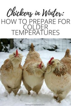 Great tips for winter chicken care #raisingchickensforeggs