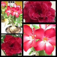 rosas vermelhas!