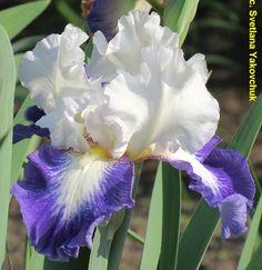 TB Iris germanica 'Can't Touch This' (Schreiner, 2004)