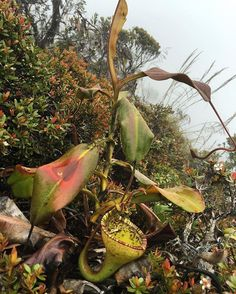 A beautiful Nepenthes eymae growing on a mountain side in Indonesia. #jeremiahsplants #neymae #carnivorousplants #carnivorousplant #sulawesi #indonesia #nepenthes #nepentheseymae #travel #pitcherplant #jeremiahharris #eymae #carnivorousplantsofinstagram #carnivoroustagram #traveling #jeremiahharris #carnivorousplants #vsco #vscocam #trekking #backpacking #rareplants #plants #plants #plantsthatbite