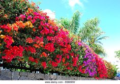 Find the perfect bougainvillea hedge stock photo. Fence Landscaping, Tropical Landscaping, Tropical Garden, Fruit Garden, Garden Trellis Panels, Cerca Natural, Bougainvillea Tree, Front Yard Garden Design, Container Gardening