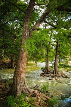 Cypress Trees in the Guadalupe River - Gruene, Texas