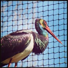 https://flic.kr/p/2488FFQ | #Today / #22 | #Photography & #Post-processing     From: #2018 (6-4-2018)     #Mierlo, #Netherlands    #Animal, #Bird, #Blackstork     #Dierenrijk, #Zoo, #Colorful    MADE with: #NIKON #D5600  ( F/6,3 - 1/500s - 185 mm - ISO/400 )   EDITED with: #Instagram  ( #Splittoning, #Mayfieldfilter, #Frame )  BY K.J.V.W 2018