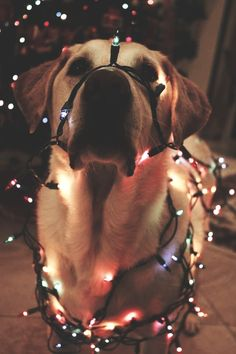 """""""Dear Santa, I can explain."""" Jewel, the Collie. This is not a picture of her because if we did this to her she would start chewing on the lights."""