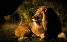 Lion at closing time....Zoo Miami by Mandy Sierra Photography  http://500px.com/photo/23272967
