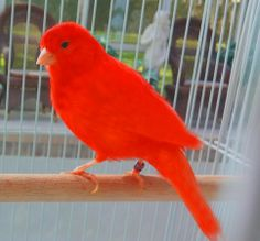 Introducing New Line Of Red Canaries - Never Seen Before in Tampa, Florida - Hoobly Classifieds