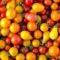 Patio Tomato Mix - A mix of tomatoes that have compact plants which are good in containers: Tumbling Tom, Silvery Fir, Washington Cherry, Pink Ice, and Manyel Moons.