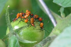 Organic solution to leaf footed bugs