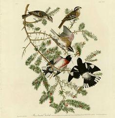 Rose-breasted Grosbeaks by John James Audobon