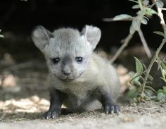 Three little bat-eared Foxes are stealing hearts at Germany's Zoo Krefeld. Learn more about this unqie African Fox species on ZooBorns.com and at http://www.zooborns.com/zooborns/2017/06/bat-eared-fox-kits-stealing-hearts-at-zoo-krefeld.html