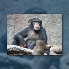 New research suggests #apes have human-like personalities