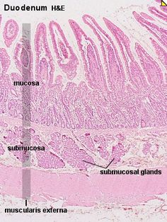 stomach muscle histology - gastric pit and gland | lab ...