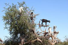 Tree Climbing Goats, Morocco -