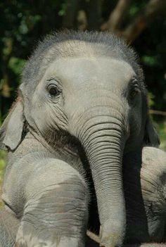 21 Cute baby elephant pictures + videos of other animals Cute Baby Elephant, Cute Baby Animals, Animals And Pets, Funny Animals, Baby Elephants, Funny Elephant, Elephant Pics, Wild Animals, Cute Elephant Pictures