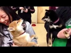 Maverick and Bianca are CONSTANTLY yelling at each other. It HAS to be a breed thing. Classic shiba!