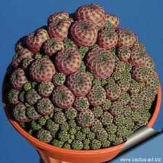 Sulcorebutia rauschii (Syn: Sulcorebutia canigueralli)