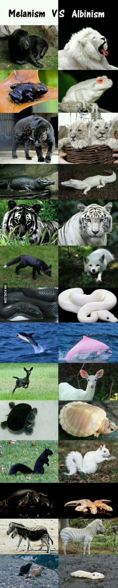 Funny pictures about Melanism Vs. Albinism In The Animal Kingdom. Oh, and cool pics about Melanism Vs. Albinism In The Animal Kingdom. Also, Melanism Vs. Albinism In The Animal Kingdom photos. Rare Animals, Animals And Pets, Black Animals, Strange Animals, Unique Animals, Wild Animals, Cute Funny Animals, Cute Baby Animals, Beautiful Creatures