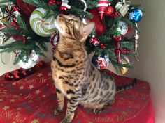 Suki 2015 Bengal Cats, All About Cats, Cats And Kittens, Christmas Tree, Holiday Decor, Home Decor, Teal Christmas Tree, Decoration Home, Room Decor