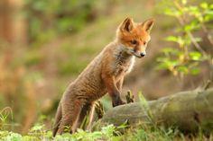 Fox in Biebrzański National Park.