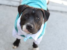 A1069831_Beta1..MALE, BLACK / WHITE, PIT BULL MIX, 1 yr STRAY – STRAY WAIT, NO HOLD Reason STRAY Intake condition EXAM REQ Intake Date 04/09/2016, From NY 11429, DueOut Date04/12/2016, I came in with Group/Litter #K16-053037.
