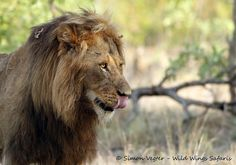 A male lion in Kruger National Park, South Africa