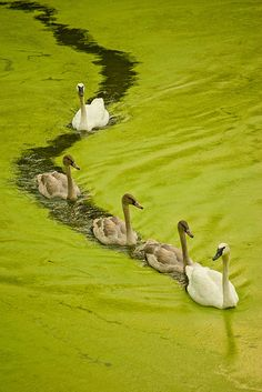 "Family... Swans ""drafting"" - Photo by Ulster71"
