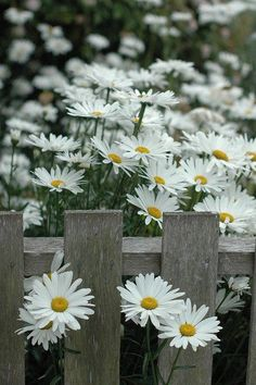 taggartjames: love daisy's, I can't get enough of them…. in my garden, I have several different sizes of them from the tiny daisy's of the Flea bane, all the way up to Shasta Daisy's that are over Pretty Flowers, White Flowers, Simple Flowers, Spring Flowers, Daisy Flowers, Fresh Flowers, Flowers Gif, Exotic Flowers, Wedding Flowers