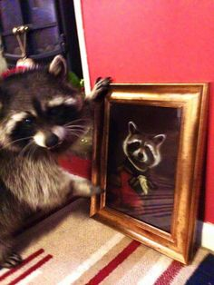 Rare Animals, Animals And Pets, Funny Animals, Strange Animals, Funny Raccoons, Funny Animal Videos, Funny Animal Pictures, Pet Raccoon, Cute Rats