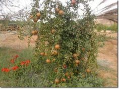 urban desert gardening | jordan | pomegranate