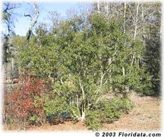 Wax Myrtle (Southern Bayberry). Small tree or pruned as shrub; forms suckers. Perfect for stream banks and flooding/drought areas. Berries are high energy food source for winter birds. Fixes nitrogen, thrives in poor soils.