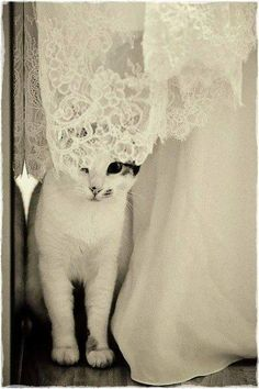 So cute Kitty and so pretty lace. Cute Creatures, Beautiful Creatures, Crazy Cat Lady, Crazy Cats, Kittens Cutest, Cats And Kittens, Kitty Cats, Cat Wedding, Wedding Dress