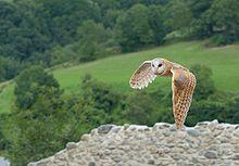 Barn Owl - Wikipedia, the free encyclopedia