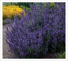 Salvia fruticosa 'Greek Skies' | Lambley Nursery