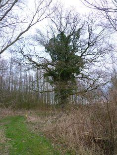 2014-02-09 Oude eik aan begin van de route door de Hagenbeek