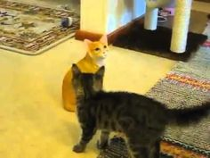 This Kitten Has The Funniest Reaction When It Finds A Fake Cat In The House.