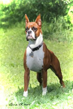 Pictures of Boxer Dog Breed