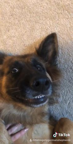 Mahogany German Shep on TikTok Sweet Dogs, Cute Baby Dogs, Cute Dogs And Puppies, Corgi Puppies, Doggies, Funny Animal Videos, Cute Funny Animals, Funny Dogs, Cute Baby Animals